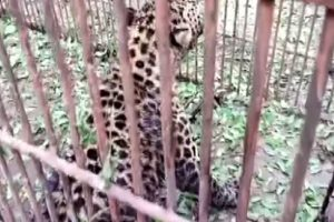 Cattle Lifter Leopard Trapped by Wildlife Protection Department in Jammu and Kashmir's Ganderbal District